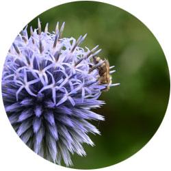 Biene auf wunderschöner lila Blüte