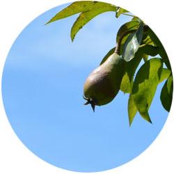 Eine Birne am Zweig im Garten